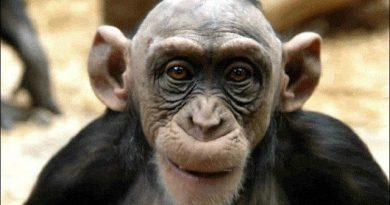 Maymunların İnsanları Nasıl Gördüğü Tespit Edildi!